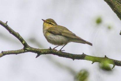 Wood Warbler_RSPB Visitor Hub Loch Lomond