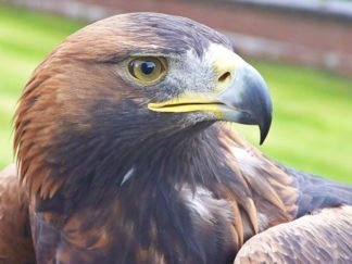 Orla the Golden Eagle_Loch Lomond Bird of Prey Centre