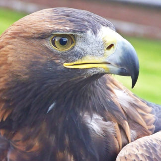Orla the Golden Eagle_Loch Lomond Bird of Prey Centre