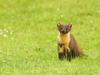 Pine Marten_The Great Trossachs Forest National Nature Reserve